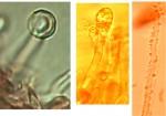 Schizopora flavipora, cystides