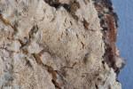 Schizopora flavipora