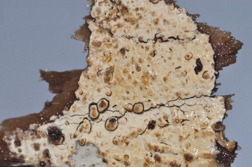 Hymenophore lisse à poruleux, marge non différenciée Sur Quercus pubescens,Populus et souches de Picea abies
