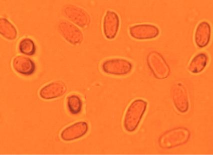 Spores étroitement ellipsoïdes à subcylindriques. 5.2/6.9 x 2.8/4.5 µm