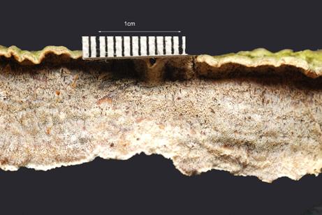 Basidiocarpe le plus souvent résupiné mais parfois étalé-réfléchi. Surface porée gris-rose 4 à 6 pores par mm