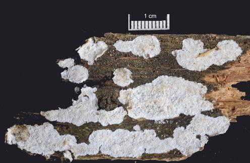 Basidiome résupiné, marge étroite. Formant au début des petits îlots qui finissent par confluer Surface fertile porée, , 3à4 pores par mm