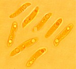 Subulicystidium longisporum, spores