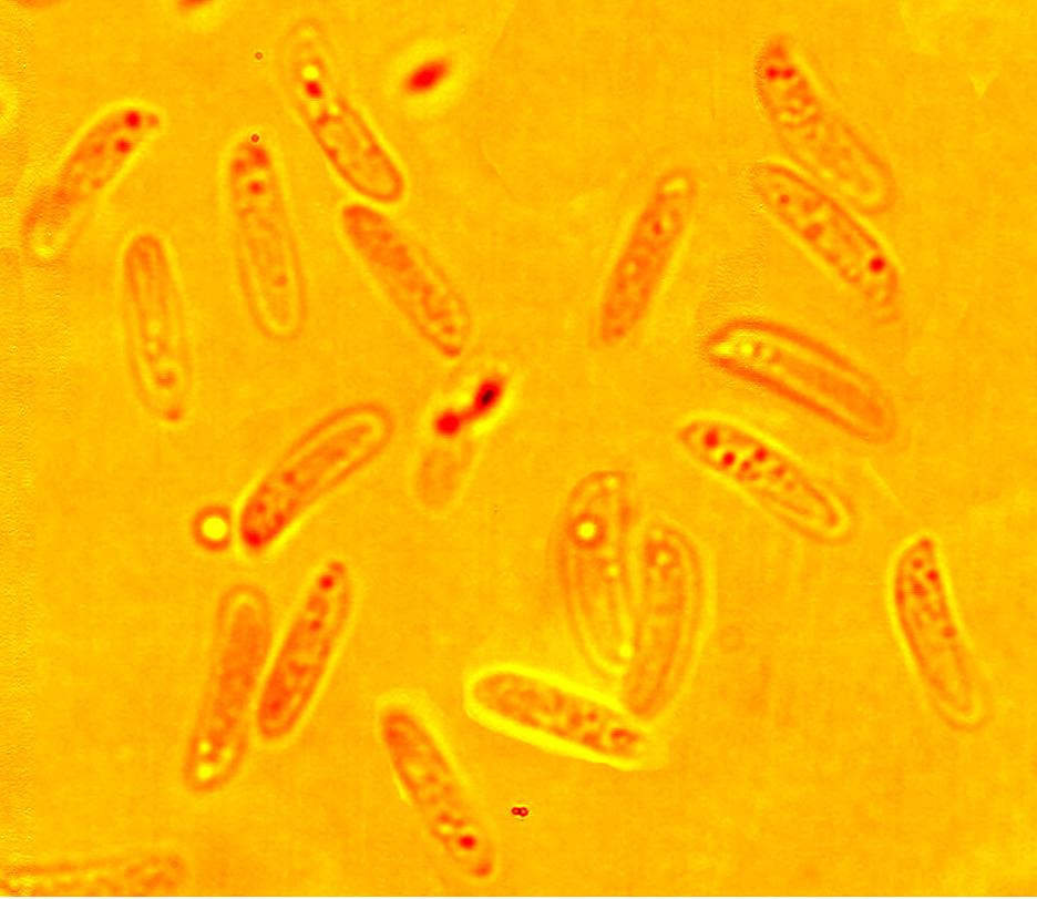 Spores allantoïdes, lisses à paroi mince 7.5/8.5 x 1.8/2.7 µm