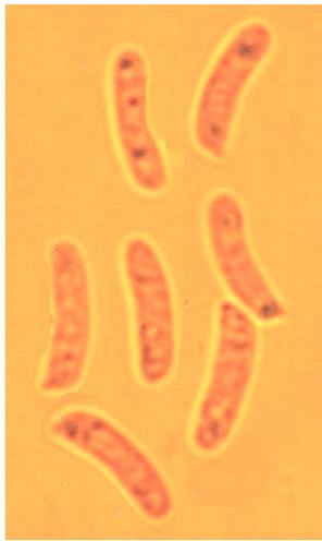 Spores allantoïdes, lisses à paroi mince 6.9/9 x 1.6/2.5 µm