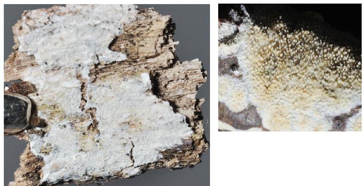 Basidiome résupiné Hyménophore odontioïde avec de petits aiguillons très serrés. Indifféremment sur feuillus ou conifères