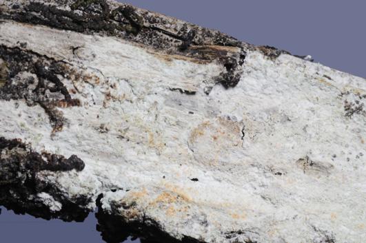 """Basidiome résupiné. Hyménophore plus ou moins lisse avec quelques """"grains"""" épars Pas de marge distincte Sur Juniperis, Cupressus, Rosmarinus, Clematis."""
