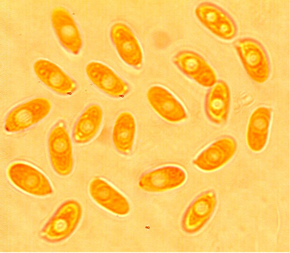 Spores cylindriques à suballantoïde 6.9/7.8 x 2.8/3.9 µm Lisses Paroi mince