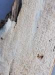 Xylodon spathulatus