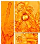 """Xylodon spathulatus,""""cystides"""""""