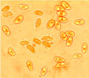 Spores étroitement ellipsoïdes, lisses à paroi mince. 5.1/6.4 x 2.8/4.1 µm