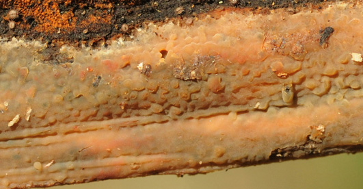Basidiome  résupiné, étalé, céracé à l'état frais et crustacé quand il est sec. Hymenophore lisse à tuberculé, de couleur variable en fonction de la teneur en eau et de 'état de croissance, jaune pâle ochracé à brun avec une nuance violette ou rouge. Sur divers feuillus et tronc de Pinus laricio.