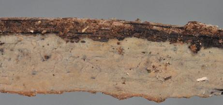 Fructification céracée quand elle est fraiche et cornée quand elle est sèche Hyménophore de couleur variable, mais toujours avec une teinte rouge; marge indéterminée.