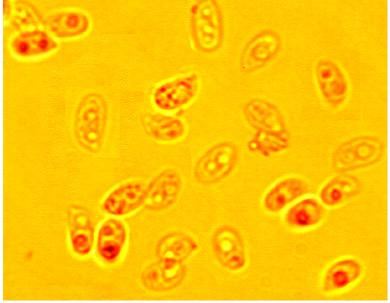 Spores subcylindriques , légèrement incurvées, lisses à paroi mince. 4.4/6 x 2.5/3.4 µm