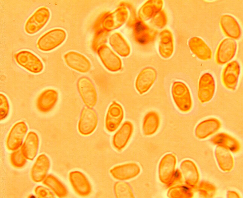 Spores ellipsoîdes légèrement incurvées, lisses à paroi mince. 4.9/6.4 x 2.5/3.6 µm