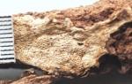 Physisporinus vitreus, pores