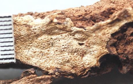 Surface fertile ochracée dans sa vieillesse et ne changeant pas de couleur au toucher. Pores arrondis à anguleux, 3 à 5 pores par mm.
