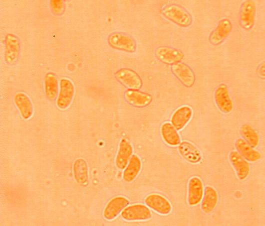Spores cylindriques à ellipsoïdes,(3.9/5.3) x(1.8/2.5) µm; lisses à paroi mince