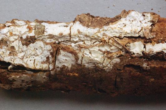 Basidiome résupiné, hyménophore lisse, blanc à jaune ou  ochracé. Castanea sativa