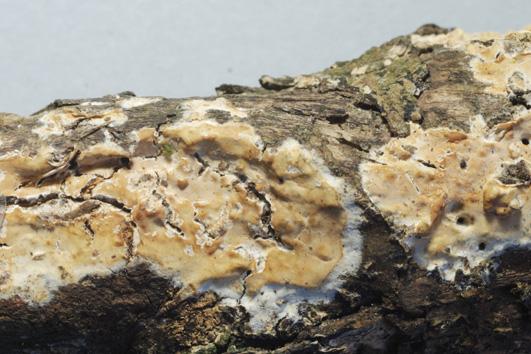 Baisiome résupiné, hyménophore lisse , surface fertile blanc jaunâtre à ochracée; marge fimbrillée. Sur Juniperis oxycedrus.