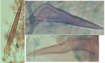 Phellinus contiguus soies