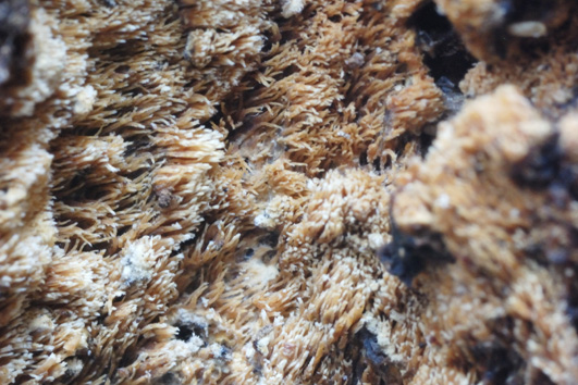 Basidiome résupiné, hymenophore hydnoïde, crème à jaune. Sur la face inférieure des branches et troncs morts de feuillus
