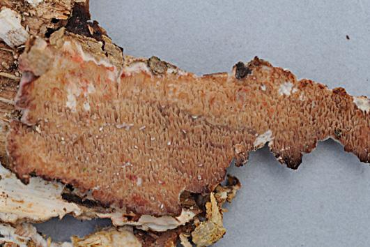 Hyménophore résupiné, réticulé (mérullioïde) à subporoïde; ocre-clair à rouge-brun. Chair gélatineuse tendre à l'état humide. Sur bois mort de feuillus, cortiqué ou non