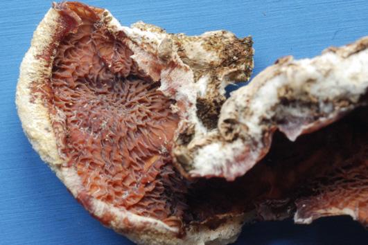 Hyménium mérulioïde, réticulée, porée, jaune,orange à saumon-rose.Consistance molle, élastique. Sur bois pourri de feuillus ou de conifères, souvent sur troncs couchés
