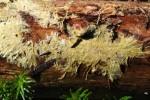 Phlebiella vaga