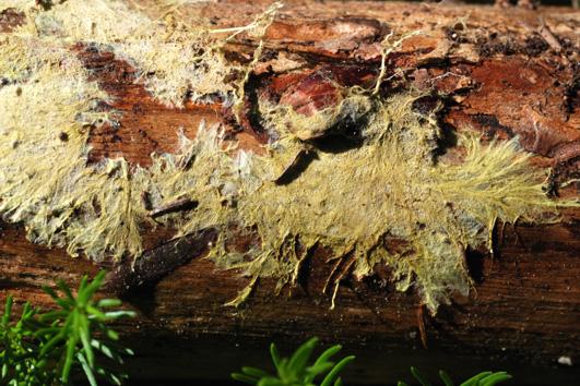 Fructification résupinée, fortement fixée au support, formant des revêtements fibreux-membraneux. Surface hyméniale granuleuse au centre, couleur de miel ou brunâtre. Marge garnie de fins rhizomorphes blanchâtres disposés en éventail. Prend une teinte vineuse sous l'action de KOH