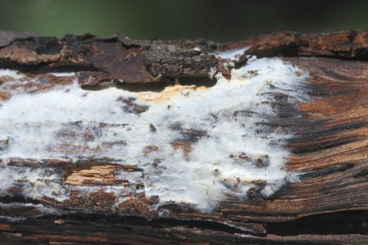 Basidiome résupiné, membraneux, hyménophore d'abord lisse puis odontioïde à raduloïde, blanc à orange brun; marge blanche à jaune clair, fibrilleuse à fimbrillée. Sur Quercus ilex