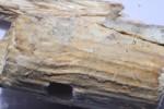 Phanerochaete tuberculata