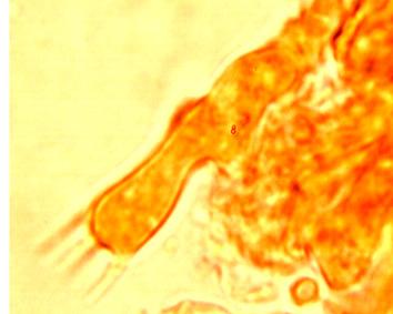 Basides  subcylindriques à 4 stérigmates et boucle basale.