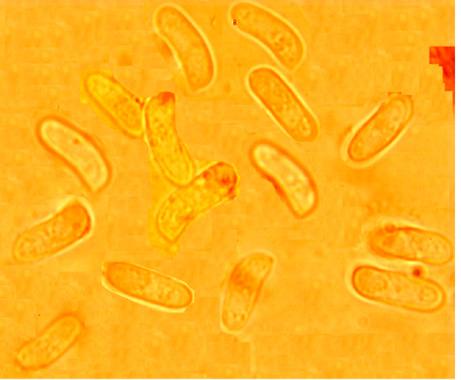 Spores cylindriques, allantoïdes, lisses, à paroi mince. (8.5/11.3) (2.8/3.9) µm