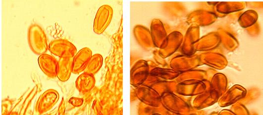 Spores ellipsoïdes, tronquées au sommet , à paroi épaisse et fortement dextrinoïdes. (12.5/17.5) x( 6.8/8.5) µm