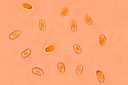 Spores cylindriques,un peu incurvées.. (3.4/4.2) x (1.4/2.4) µm