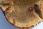 Inonotus hispidus, pores