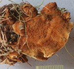 Inonotus tomentosus