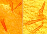 Inonotus tomentosus soies