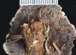Inonotus triqueter pores