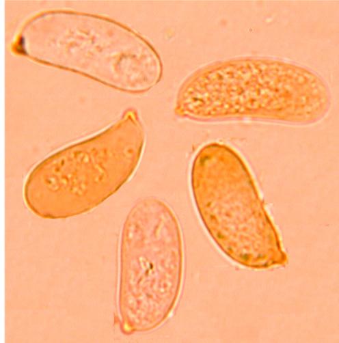 Spores sub-allantoïdes à oblongues; fortement amyloïdes. (12.9/17.8) x ( 6/7.5) µm