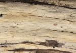 Megalocystidium luridum,