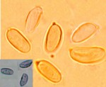 Megalocystidium luridum, spores