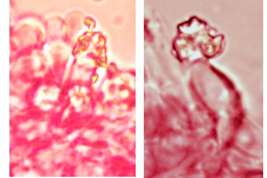 Cystides souvent rares, étroitement clavées à cylindriques, incrustées au sommet et simple cloison.