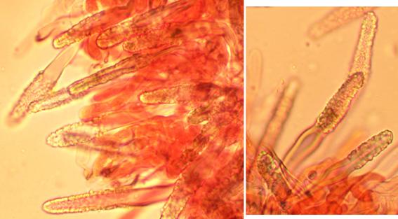 Skeletocystides cylindriques, brunes, à paroi épaisse, incrustées (lisses chez les jeunes spécimens)