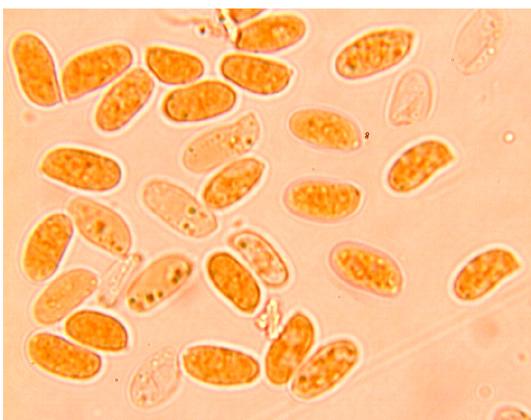 Spores cylindriques, lisses, à paroi mince. (6.6/8.5) x (3.2/4.3) µm