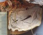 inonotus tomentosus,hymenium