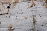 Kneiffiella cinereacea