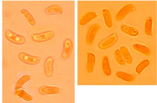 Spores cylindriques à allantoïdes, lisses à paroi mince. (5.7/7.4) x (2.1/3.4) µm