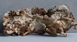 Laxitextum bicolor